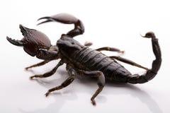 Acht-mit Beinen versehener Skorpion Stockfotos
