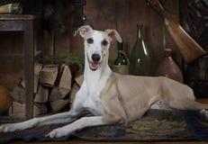 Acht Monate alte Whippethund Stockfoto