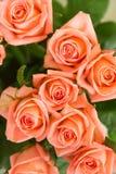 Acht orange Rosen im Grün Stockbild