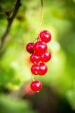 Acht rote Johannisbeeren in einer Weintraube Lizenzfreie Stockfotos