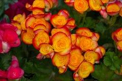 Acht Unsterblichblumen Stockbild