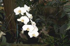 Acht weiße Orchideen Stockbilder