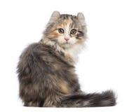 Achter mening van een Amerikaans katje van de Krul, 3 maanden oud, zitting en het bekijken de camera stock afbeelding