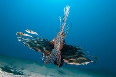 Achter mening van een Gemeenschappelijke lionfish (mijlen Pterois) Stock Foto's