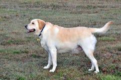 Achter mening van een puppyhond op een grijze achtergrond stock foto