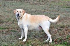 Achter mening van een puppyhond op een grijze achtergrond stock afbeelding