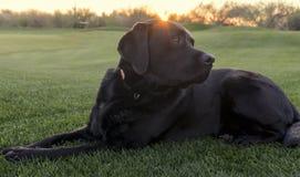 Achter mening van een puppyhond op een grijze achtergrond Stock Afbeeldingen