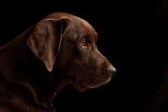 Achter mening van een puppyhond op een grijze achtergrond Royalty-vrije Stock Afbeelding