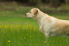 Achter mening van een puppyhond op een grijze achtergrond Royalty-vrije Stock Foto's