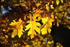 Achter Verlichting op Eiken Bladeren Royalty-vrije Stock Fotografie