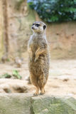 Achterbenen Meerkat Royalty-vrije Stock Afbeeldingen