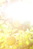Achtergrond appelboom Stock Foto's