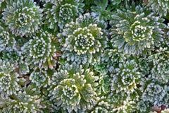 Achtergrond Bevroren bladeren met ijskristallen Royalty-vrije Stock Foto