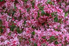 Achtergrond Bloemen van appel Stock Fotografie