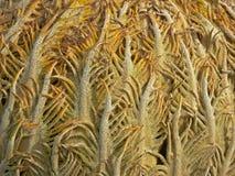 Achtergrond: close-up van Cycad-kegel (cycasrevoluta) Royalty-vrije Stock Afbeeldingen