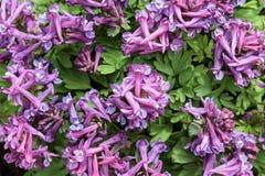 Achtergrond Corydalisbloemen, een hoogste mening Royalty-vrije Stock Foto