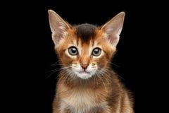 Achtergrond de in camera, Zwarte van close-upabyssinian Kitty Curious Looking stock foto's