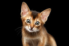 Achtergrond de in camera, Zwarte van close-upabyssinian Kitty Curious Looking royalty-vrije stock foto