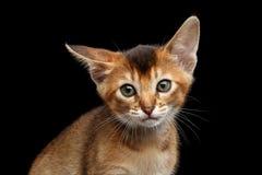 Achtergrond de in camera, Zwarte van close-upabyssinian Kitty Curious Looking royalty-vrije stock fotografie