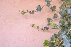 Achtergrond die van roze gipspleistermuur met klimop één kant groeien - selectieve nadruk stock afbeelding