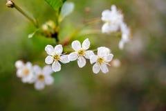 Achtergrond Een tak van kersenbloesems Stock Afbeeldingen
