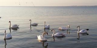 Achtergrond Een troep van koninklijke zwanen die op de kalme oppervlakte van het overzees rusten stock foto's