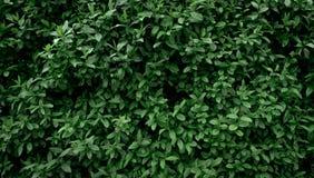 Achtergrond en textuur van de muur van natuurlijke groene kleine bladeren Het behang van Eco stock fotografie