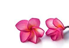 Achtergrond frangipani. Stock Foto's