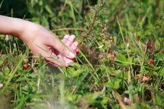 Achtergrond Geneeskrachtige kruiden Hand die aardbeien verzamelen Stock Afbeelding