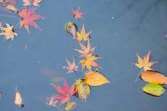 Achtergrond gevallen Japanse Autumn Maple-bladeren in vijverwateren Stock Afbeeldingen