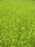 Achtergrond-gras Royalty-vrije Stock Fotografie