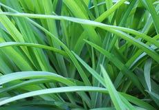 Achtergrond groene sappige lange grastextuur Royalty-vrije Stock Afbeelding