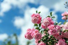 Achtergrond met mooie roze rozen Stock Afbeelding