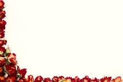 Achtergrond met rode die rozen op wit met steekproeftekst wordt geïsoleerd Stock Foto's