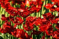 Achtergrond met rode tulpen Royalty-vrije Stock Afbeelding