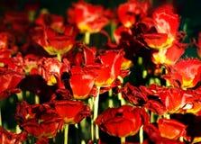 Achtergrond met rode tulpen Royalty-vrije Stock Fotografie