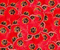 Achtergrond met rode tulpen Royalty-vrije Stock Afbeeldingen