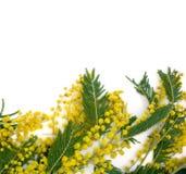 Achtergrond met tak van mimosa's Royalty-vrije Stock Foto's