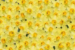 Achtergrond met vele bloeiende gele narcissenbloesems Stock Fotografie