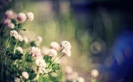 Achtergrond met wilde bloemen van een klaver Stock Foto's
