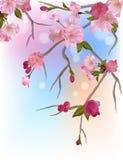 Achtergrond met zachte sakuratakken van bloemen Stock Afbeelding