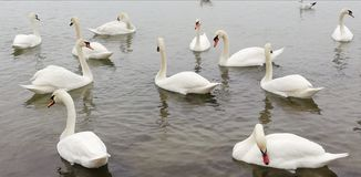 Achtergrond Pak mooie witte zwanen op de stille oppervlakte van het overzees Bevallige vorstelijke vogels royalty-vrije stock foto