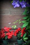 Achtergrond, rode bloemen in potten Royalty-vrije Stock Foto's