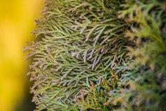 Achtergrond of textuur van gele toon en takken van een boom een thuja De lente heldere kleuren van een spar nave stock foto's