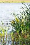Achtergrond van aard: iris het groeien in water. Royalty-vrije Stock Afbeeldingen