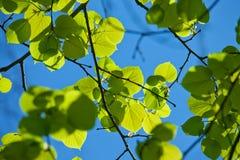 Achtergrond van bladeren van linde Stock Foto