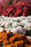 Achtergrond van bloeiende chrysanten Royalty-vrije Stock Foto's