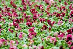 Achtergrond van bloeiende purpere viooltjes Royalty-vrije Stock Fotografie