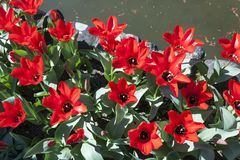 Achtergrond van bloeiende rode tulpen in de lente Stock Afbeelding