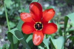Achtergrond van bloeiende rode tulpen in de lente Stock Foto
